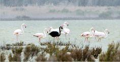 Black Flamingo ...
