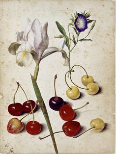 """arsvitaest: """"Spanish iris, morning glory and cherries Author: Georg Flegel (German, Date: 1630 Medium: Watercolor and gouache with white highlights on paper; traces of black chalk; several paint stains Location: Kupferstichkabinett (Museum. Vintage Botanical Prints, Botanical Drawings, Botanical Art, Google Art Project, Dame Nature, Illustration Botanique, Fleurs Diy, Nature Illustration, Nature Prints"""