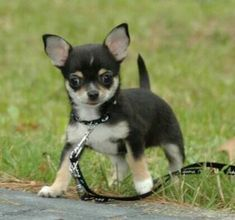 BLOG OBRAZKI: PIESKI Chihuahua, Corgi, Animals, Blog, Boyfriends, Dog, Animales, Animaux, Chihuahua Dogs