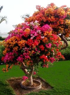 Bougainvillea tree-I want one in all those beautiful colors! ( pluses since it is not a bougainvillea bush/climbing bush, it won't be a scorpion haven like our last bougainvillea that Hot Hubbie tore out) Bougainvillea Tree, My Secret Garden, Plantation, Flowering Trees, Dream Garden, Wisteria, Lawn And Garden, Garden Kids, Forest Garden