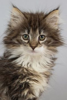 Norwegian Forest Cat: photos
