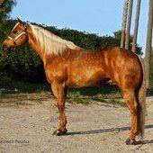 Olenas King Texas Palomino ROAN Quarter Horse Stallion
