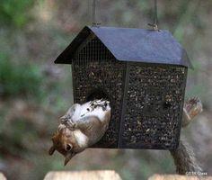 """I just fit!"" .... Grey squirrel & Bird Feeder ...."