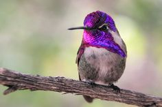 A male Costa's Hummingbird, Arizona-Sonoran Desert Museum, near Tucson, Arizona ~ http://good-e-nuf.deviantart.com/#/d50fcgw