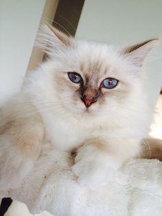 Birman cat SoHo