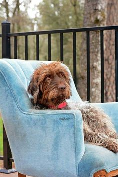 Pet Dogs, Dogs And Puppies, Pets, Wirehaired Pointing Griffon, Best Bud, Havanese, Pointers, Hanging Out, Bristol