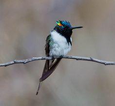 Foto chifre-de-ouro (Heliactin bilophus) por Maria Albers | Wiki Aves - A Enciclopédia das Aves do Brasil