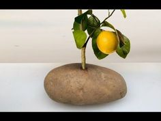 Put A Lemon Cutting In A Potato And Watch It GROW!!! Instead of How To Grow Lemon Tree from Seed. Try this! with Cinnamon and Honey for the Natural Organic w...