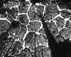 Kepong Forest Reserve. Crown shyness in the 'kapur' tree (Dryobalanops aromatica), one of the dipterocarps that, as they mature in the forest, develop mutual avoidance. Malaysia. 1997. © Stuart Franklin / Magnum Photos