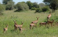 Impalas, Tanzania