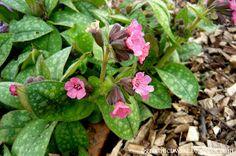 Ogrodnictwo od A do Z : Miodunka- Pulmonaria