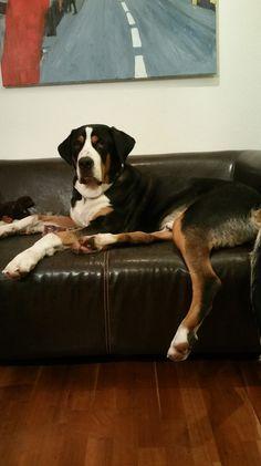 DOG - Anton vom Zammelsberg auf seiner Couch Anton, Big Dogs, Couch, Boys, Animals, Pet Dogs, Baby Boys, Settee, Animales