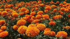 Discover beautiful orange flowers to give stunning look to your garden. Including images for easy identification of these popular orange flowering plants. Full Sun Flowers, List Of Flowers, Blooming Flowers, Orange Flowers, Amazing Flowers, Marigolds In Garden, Growing Marigolds, Planting Flowers, Garden Bugs