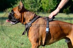 Attend to your Boxer's training with protection leather harness - 4 way adjustable accessory for attack/agitation work. Cane Corso Dog Breed, Boxer Dog Breed, Leather Harness, Dog Harness, Boxer Training, Dog Muzzle, English Mastiff, Pitbull Terrier, Dog Pictures
