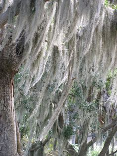Curious History of Philippe Park Wonderful Places, Great Places, Beautiful Places, Safety Harbor, Tampa Bay Area, Spanish Moss, Parks, Flora, Coast