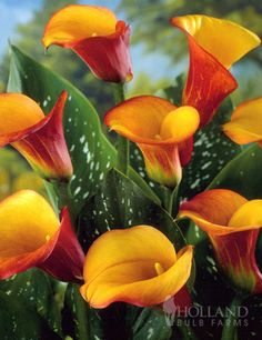 Flame Calla Lily A). Blooms: late spring-early fall B). Ground Condition: pH do not overwater C). Lighting: Full Sun/Pt Shade E). Perennial F). Propagation: diving rhizomes, tubers, corms or bulbs G). Pruning H). Calla Lily Flowers, Calla Lillies, Rare Flowers, Bulb Flowers, Exotic Flowers, Amazing Flowers, Beautiful Flowers, Zantedeschia, Flower Pictures