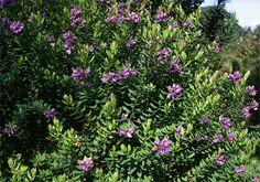Image result for Polygala myrtifolia Big Leaves, Water Plants, Purple Flowers, Mediterranean Garden, Small Shrubs, Yoga Garden, Porch Garden, Foundation Planting, Plants
