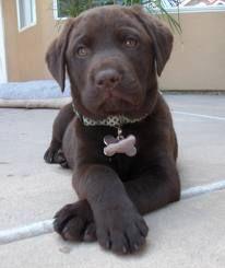What a super model! I adore this chocolate lab puppy! {Dog} {Labrador Retriever} {Pet Photography}
