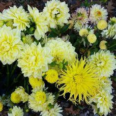 Dahlias yellow beauties