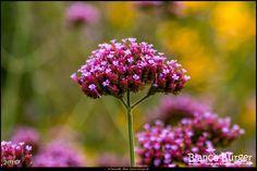 Botanischer Garten Berlin (Aug 2016) #Berlin #BotanischerGartenBerlin #Deutschland #Germany #biancabuergerphotography #igersgermany #igersberlin #IG_Deutschland #IG_Berlin #ig_germany #shootcamp #shootcamp_ig #canon #canondeutschland #EOS5DMarkIII #5Diii #pickmotion #berlinbreeze #diewocheaufinstagram #berlingram #visit_berlin #Dahlem #Steglitz #AOV5k #flower #Blume