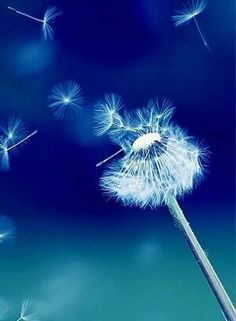 Dandelion & blue background