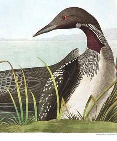 Black-Throated Diver Audubon Prints, Audubon Birds, Birds Of America, John James Audubon, Nests, Beautiful Birds, Feathers, Whale, Old Things