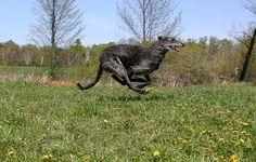 scottish deerhound - Google Search