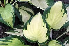 Hosta 'Morning Light'