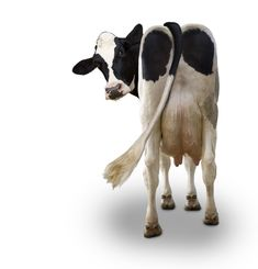 ☆ Cow Photos, Cow Pictures, Stock Pictures, Funny Photos, Farm Animals, Animals And Pets, Funny Animals, Cute Animals, Holstein Cows