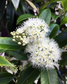 With a pretty blossom at this time of year #LemonMyrtle is unique to the Northern Rivers area of NSW.  When infused in our premium grade macadamia oil the gentle tang of the Lemon Myrtle balances beautifully with the macadamia flavour.