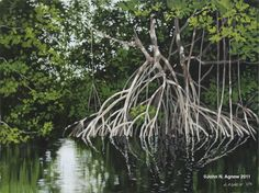red mangrove saplings in the Northern Bahamas