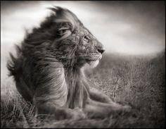 "Nick Brandt - ""Lion Before Storm II, Sitting Profile, Maasai Mara"", 2006"