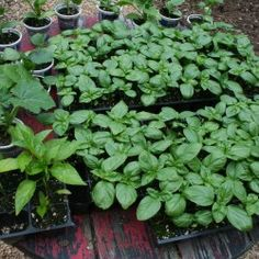 The Vegetable Garden's Second Season: Planning and Planting for Fall