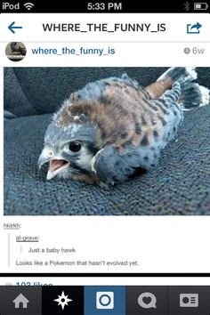 I believe that's an American Kestrel, one of the smallest falcon species, but this is funny regardless of what bird it is.