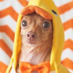 Mondays are quack! 🐤😂 #WalterTheChi #halloweenWalter #dog  #thankyou #hereallday #duck #rescuedog #smile #howloween
