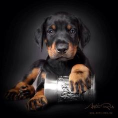 Asti Rus #Doberman #Puppy
