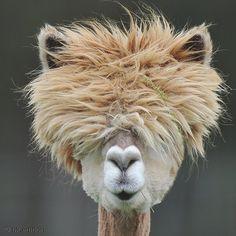 Im Frühjahr werden die Alpacas geschoren, nur die Kopfwolle bleibt ihnen erhalten als Sonnen- und Sichtschutz während des Sommers. Jetzt kann das Neuweltkamel, verwandt mit dem argentinischen Lama, wieder die Winterwolle ansetzen, wegen der es geschätzt und gezüchtet wird |  Art.-Nr.: 212-083 Wolliges Neuweltkamel | Foto: © picture alliance/AP/Kerstin Joensson | Text: Rolf Bökemeier