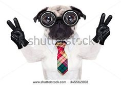 stock-photo-dumb-pug-dog-with-nerd-glasses-with-pencil-in-mouth-isolated-on-white-background-345562808.jpg (450×320)