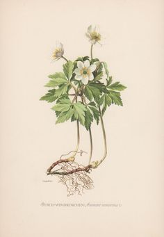 Vintage Botanical Print Anemone nemorosa by AntiquePrintGarden