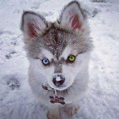 Tiny Husky - I want he