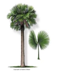 June 11, 1953: Sabal Palmetto / Cabbage Palm becomes official state tree