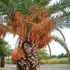 Palmier des Canaries 2