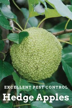 Hedge Apples, also known as Osage Oranges, are 100% organic & are chemical free. They are reported to be a natural insect repellent & can be used in garages, attics, basements, behind doors, closets & anywhere else. They can even placed around doors & the foundation of the house to keep spiders out. #ad #garden #gardening #hedgeapples #osageoranges #pestcontrol