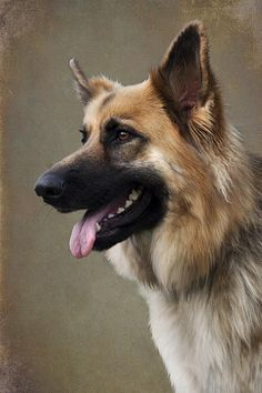 German Shepherd Dog Photograph by Ethiriel Photography - German Shepherd Dog Fine Art Prints and Posters for Sale
