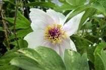 Gardening: A peony for your thoughts - Spokesman.com - May 20, 2012