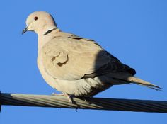 Eurasian Collared-Dove  Streptopelia decaocto  Common permanent resident