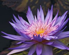 Water Lily at New Orleans Botanical Gardens....D200 | Flickr - Photo Sharing!