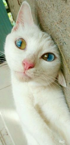 So cool! Beautiful Eyes, Amazing Eyes, Pretty Eyes, Beautiful Artwork, Cat Eyes, Unusual Pets, Unique Cats, Heterochromia Eyes, Pretty Kitty