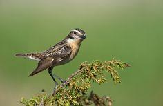 Whinchat F, Norway Eagle Bird, Sketching, Norway, Birds, Models, Explore, Friends, Happy, Animals