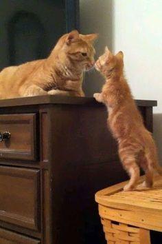 Orange tabby cat and kitten Baby Animals, Funny Animals, Cute Animals, Animals Images, I Love Cats, Crazy Cats, Image Chat, Amor Animal, Orange Tabby Cats